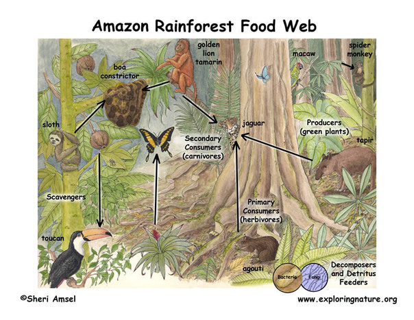 Food Chain - The Rainforest: A World Biome